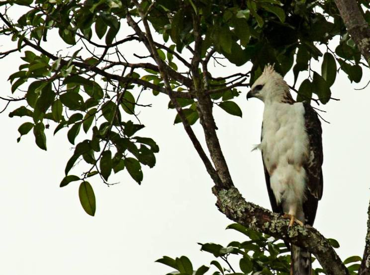 Bird species native to Flores at risk of extinction
