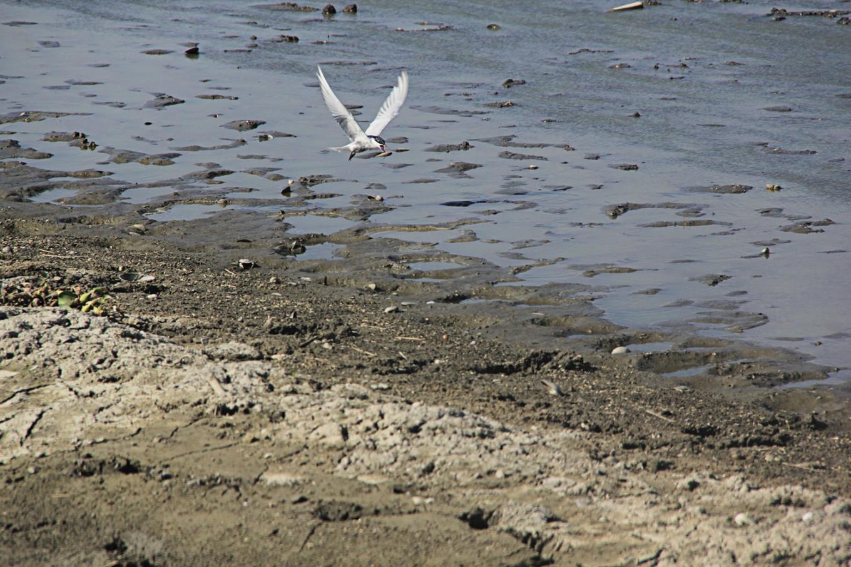 Limboto Lake: A migration stopover and a permanent habitat