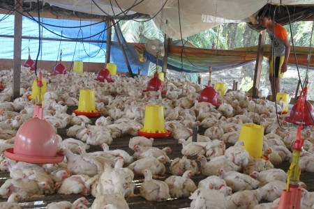 Vietnam culls 137,000 birds to contain avian influenza outbreaks