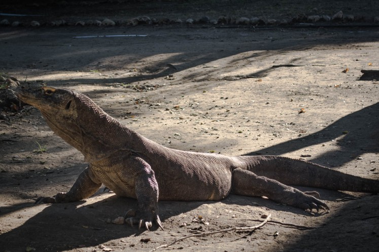 Komodo is cold blooded. In the morning, they would climb the hill to sunbathe and then go back to shady areas to cool down