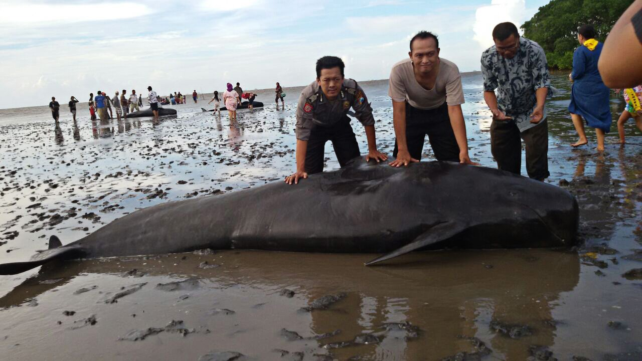 Low oxygen levels, salinity cause of beached pilot whales