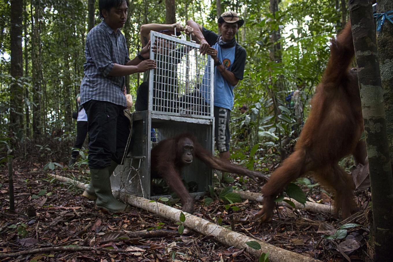 3 orangutans returned to natural habitat in W.Kalimantan