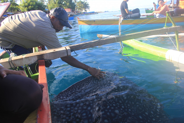 Missing: 17 whale sharks, last spotted in Botubarani