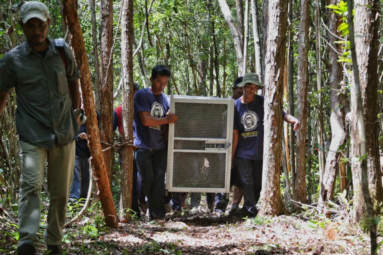 Orangutan Care Center employees carry an orangutan in a cage before releasing it into the wild, at Camp Seluang Mas 2. JP/Wendra Ajistyatama