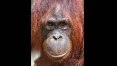 A female orangutan is seen at Camp Seluang Mas in Seruyan, Central Kalimantan. JP/Wendra Ajistyatama