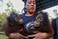 A worker cares for two infant orangutans at the Orangutan Care Center and Quarantine in Pangkalan Bun, Central Kalimantan.  Camp workers carry an orangutan for its release into the wild at Camp Seluang Mas 2. JP/ Wendra Ajistyatama