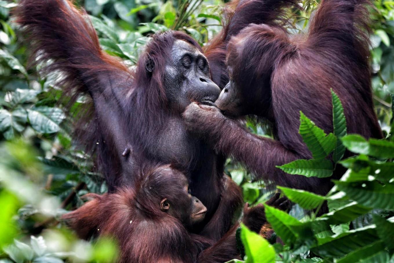Orangutans feed one another at Camp Seluang Mas. JP/Wendra Ajistyatama