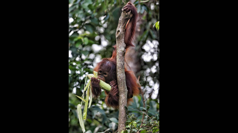 A juvenile orangutan during feeding time. JP/ Wendra Ajistyatama