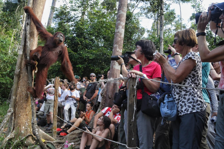 Tourists watch the feeding of wild primates at Camp Leakey. JP/ Wendra Ajistyatama