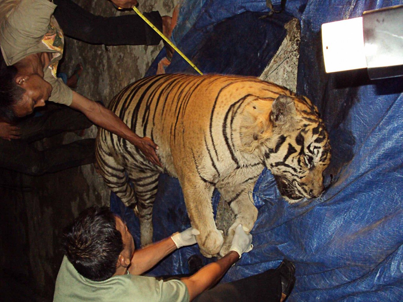 Tiger skin traders get four years in prison