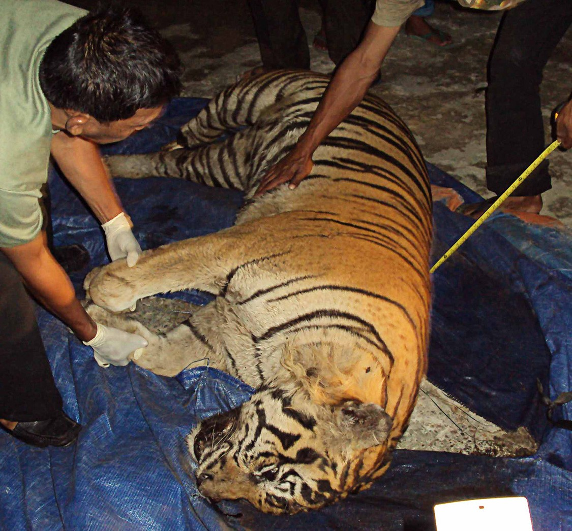 Forest rangers arrest tiger skin traders in West Sumatra