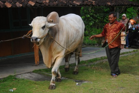Jokowi donates cattle to regional administrations for Idul Adha