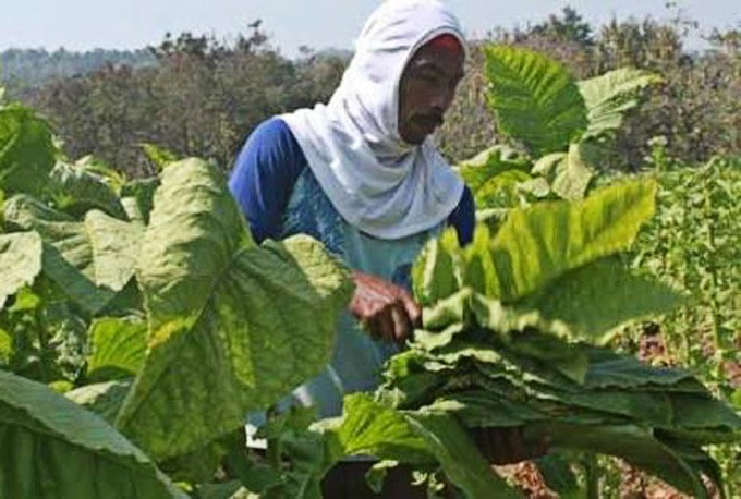 Govt called to intervene with tobacco price floor in W. Nusa Tenggara