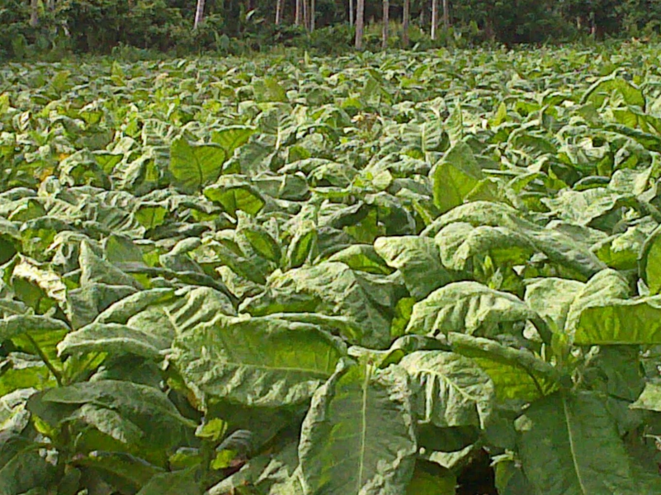 NTB tobacco leaf prices monitored: Official