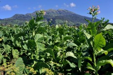 A tobacco plantation in the foothills of Mt. Merbabu in Senden village, Selo district, Boyolali regency. The wet dry season has caused the harvesting season to be postponed almost a month. JP/Alb Magnus Kus Hendratmo