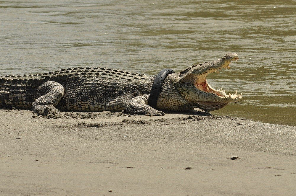 Sago plantation worker dies after crocodile attack