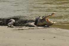 Efforts to remove tire from crocodile's neck continue