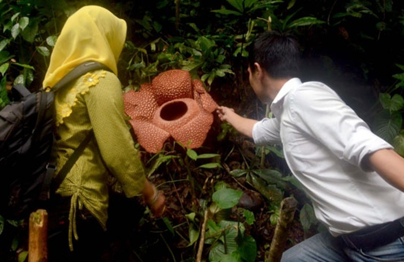 Blossoming Rafflesias hoped to attract tourists to Bengkulu