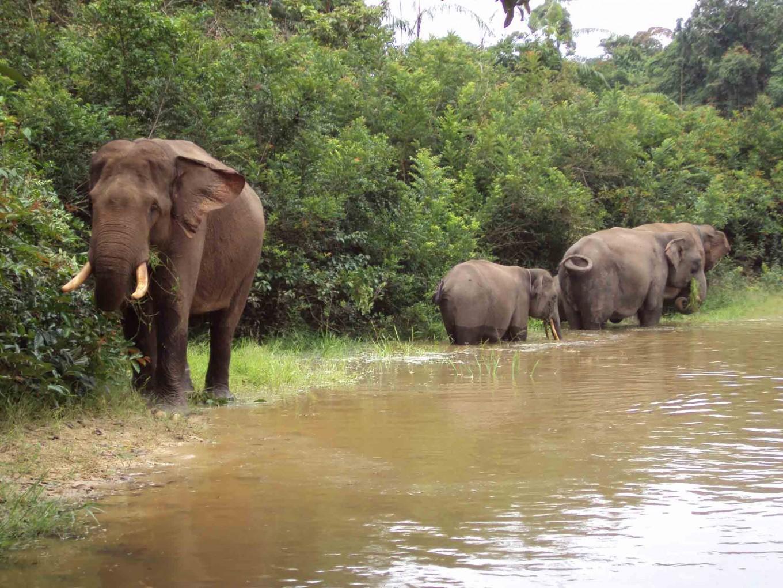 Hungry elephants in Sumatra destroy local plantations