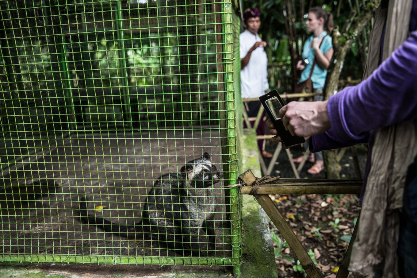 A tourist takes a picture of a civet cat in a cage at BAS coffee plantation in Tampak Siring, Bali. JP/Agung Parameswara