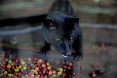 "A civet, or locally known as ""luwak"", eats Arabica coffee beans in a cage at Bali Pulina agrotourism center in Tegalalang, Bali. Luwak coffee is mainly produced in Bali, Java, Sulawesi and Sumatra. JP/Agung Parameswara"
