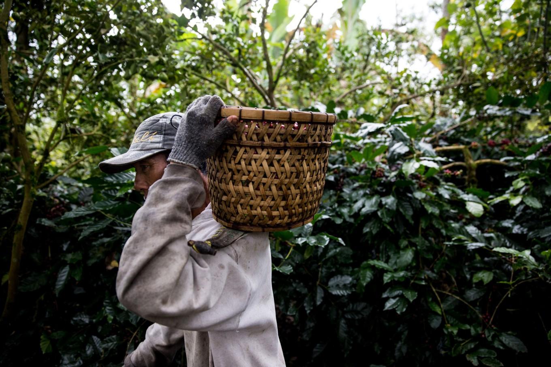 A farmer carries a basket of red Arabica coffee berries during the harvest season in Catur village, Kintamani, Bali. JP/Agung Parameswara
