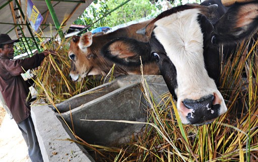 Agriculture Ministry to prioritize Bali cattle breeding in 2017