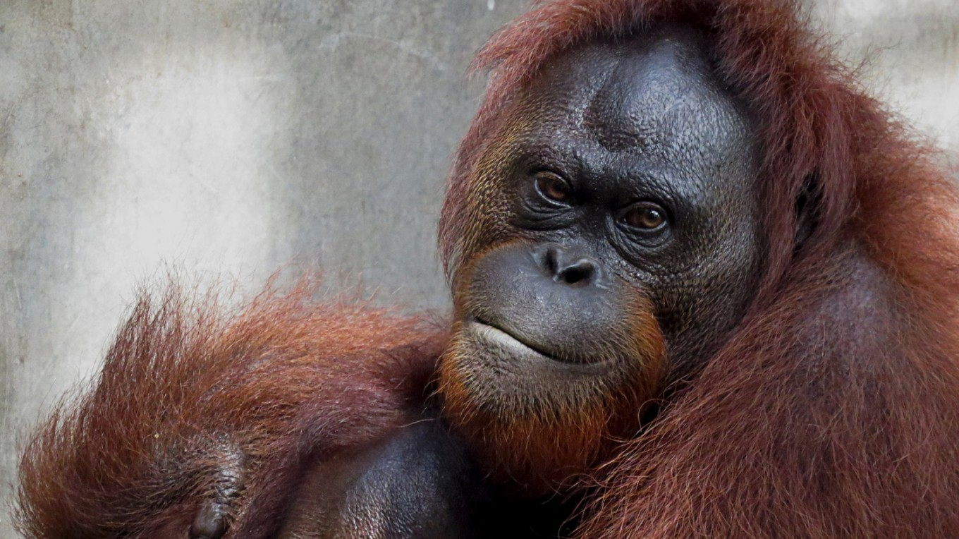 6 more orangutans released into Kehje Sewen forests