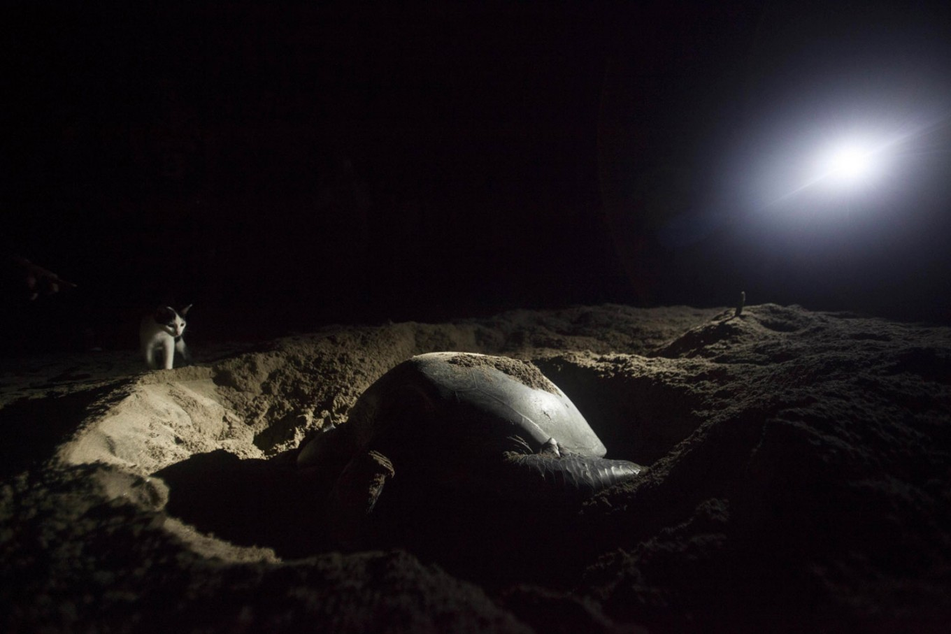 A cat watches a turtle lay eggs on a beach. JP/ Sigit Pamungkas