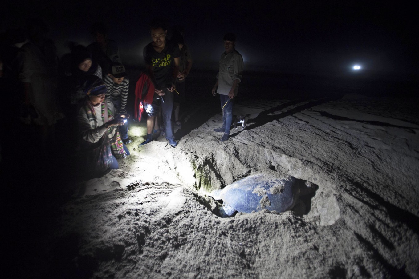 Tourists and volunteers watch a Green Turtle laying her eggs at night. The turtles' avoid sunlight because it can damage their eyes. JP/ Sigit Pamungkas