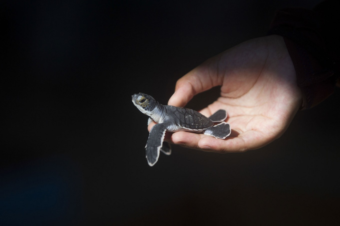 A volunteer holds a newly hatched turtle. JP/ Sigit Pamungkas