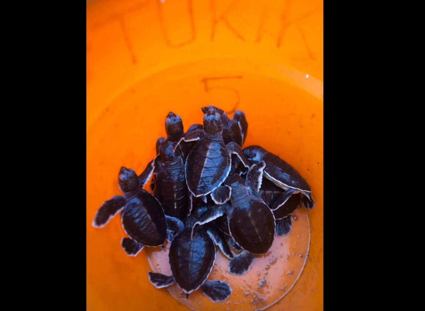 Baby turtles from the artificial hatching center are quarantined for two weeks before being released. JP/ Sigit Pamungkas