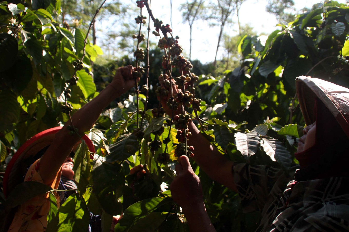 Women pick coffee cherries at the Assinan Plantation of PT Perkebunan Negara IX in Semarang regency, Central Java. The harvest period will last until October at the 352-hectare plantation, which is projected to produce 350 metric tons. The coffee is exported to Italy, Japan and South Korea. JP/Suherdjoko