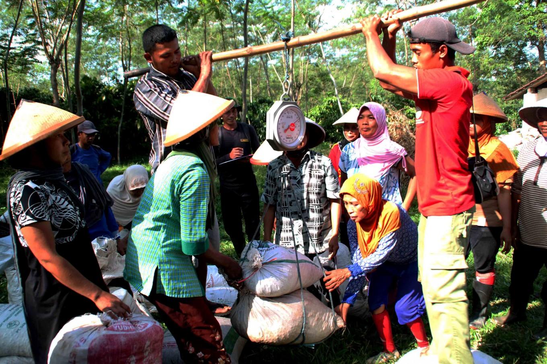 Workers weigh their picks in Assinan Plantation in Semarang, Central Java. Each worker gets Rp 500 per kilogram. JP/Suherdjoko