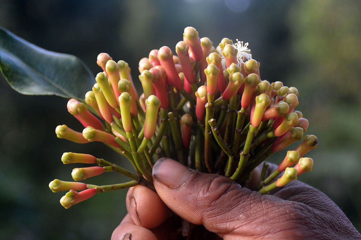 A farmer shows a bunch of cloves ready for harvest at his plantation in Ranakolong village, Kota Komba district, East Manggarai, on Sept.9. JP/Markus Makur