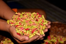 A farmer in Ranakolong village, Kota Komba district, East Manggarai, shows harvested cloves he will dry. JP/Markus Makur