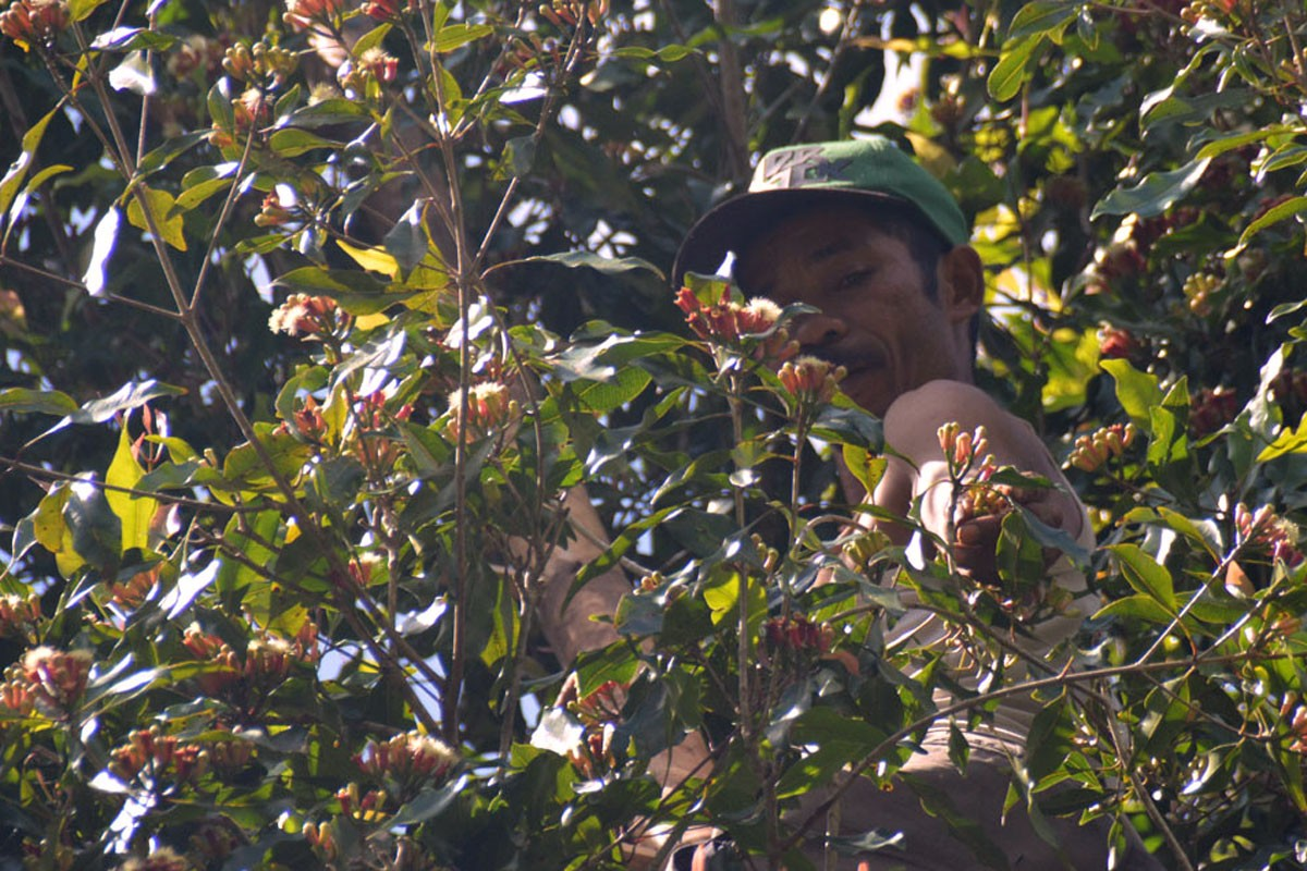 A farmer from Kampung Waekolong, Ranakolong village, Kota Komba district, East Manggarai, picks cloves at his plantation in Nggoro Nggobo on Sept.9. JP/Markus Makur