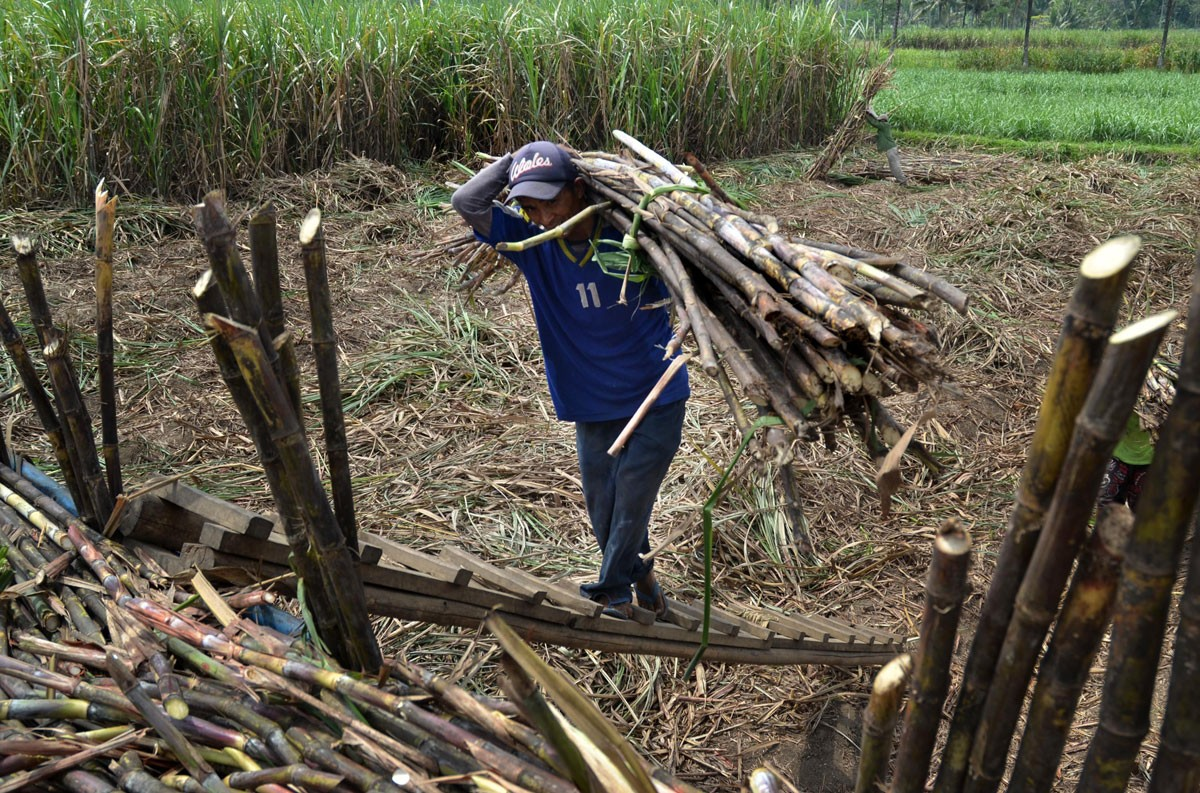 Sugarcane farmers seek help from Jokowi - Business - The Jakarta Post