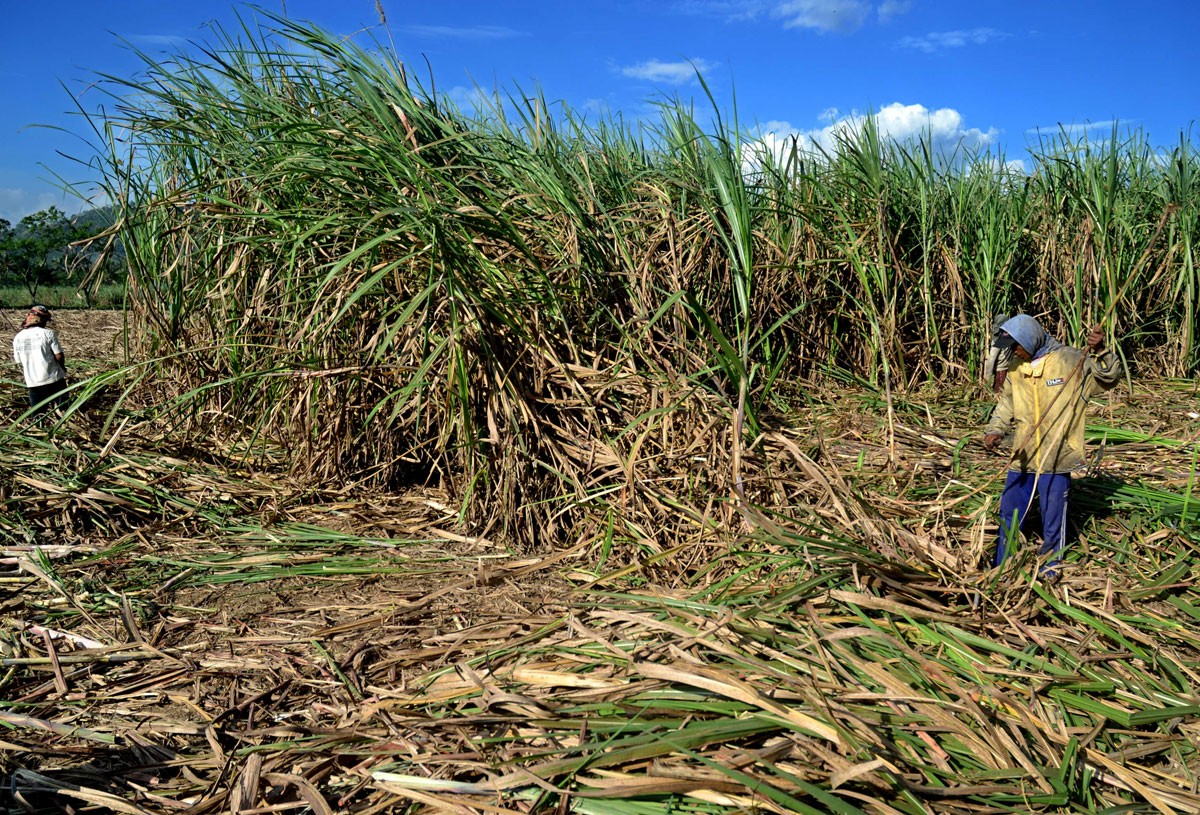 Field workers harvest sugarcane to have it ready for crushing in Purwosekar village in Malang, East Java. The cane will be sold either to brown sugar makers or large sugar factories, depending on its quality. Better quality cane will fetch a better price among brown sugar makers. JP/ Aman Rochman