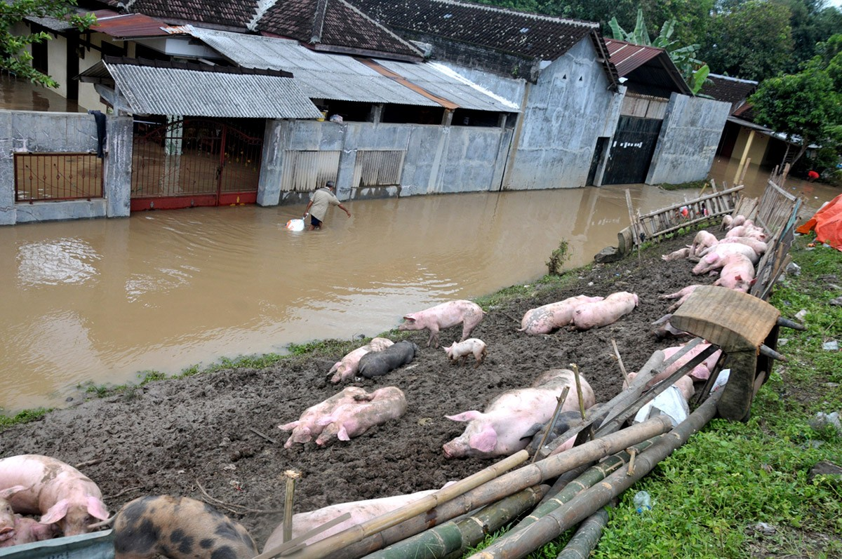 Batam to close pig farms after waste contaminates water