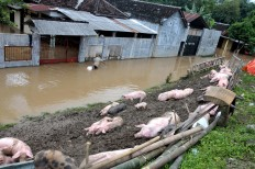 Pigs are saved to drier grounds after their barn was inundated in flood water in Mojolaban, Sukoharjo, Central Java. JP/ Ganug Nugroho Adi