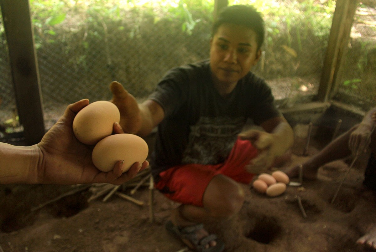 A conservation officer moves Maleo eggs found in open ground to an incubation area, at which the eggs are buried for two months before they naturally hatch. JP/Syamsul Huda M.Suhari