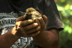 A camp officer set to release a young Maleo to wildlife. JP/Syamsul Huda M.Suhari