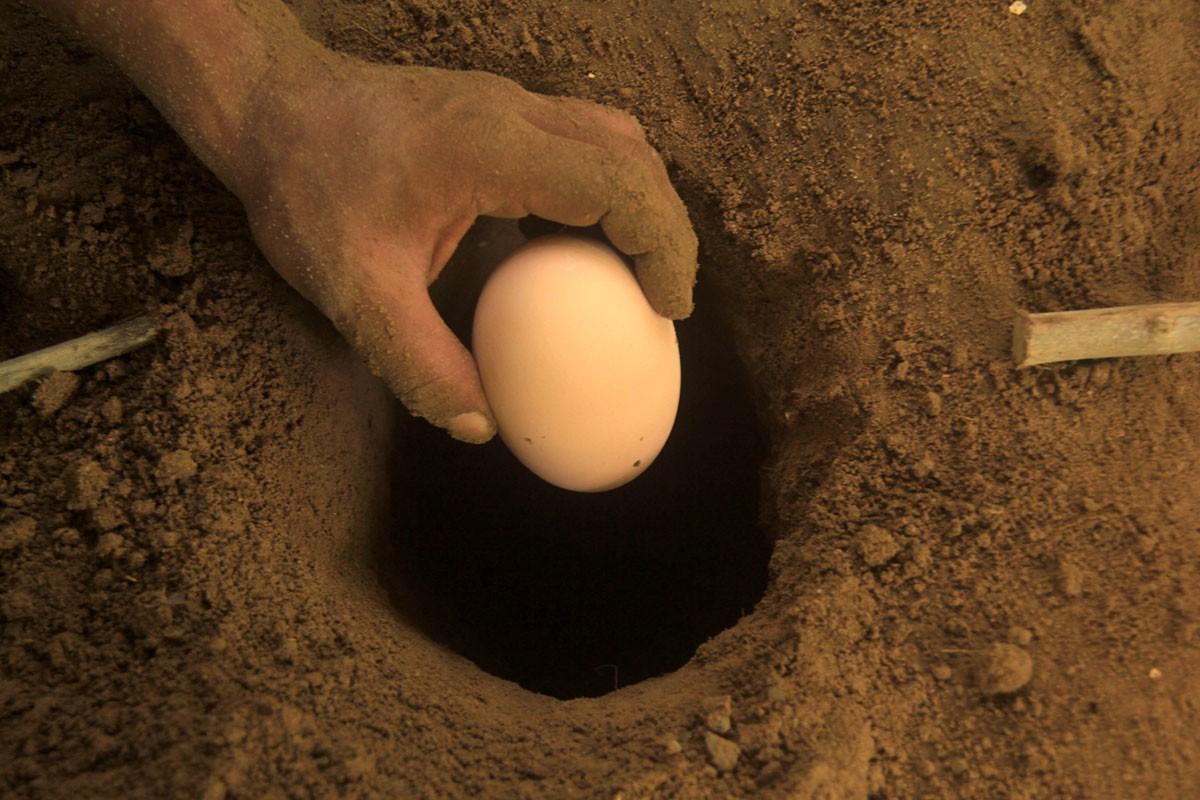 A staff moves a Maleo egg from a gaping hole. JP/ Syamsul Huda M Suhari