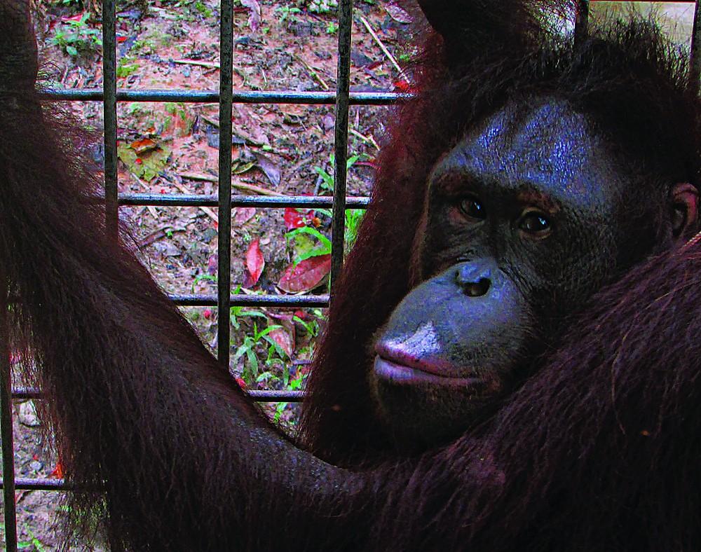 Six orangutans released into natural habitat in E.Kalimantan