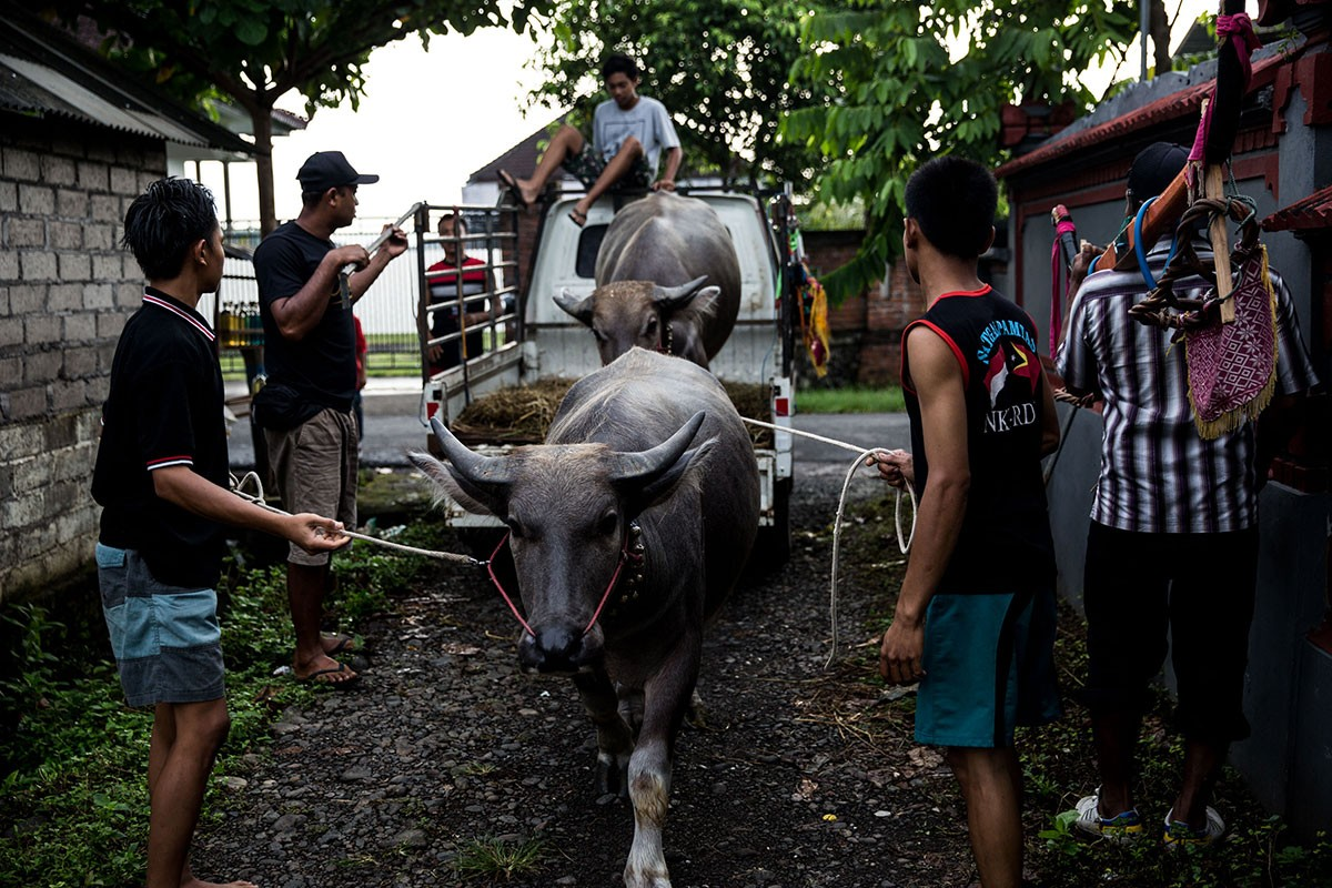 Participants arrive early in the morning with their buffaloes at the competition venue in Kaliakah village. JP/ Agung Parameswara