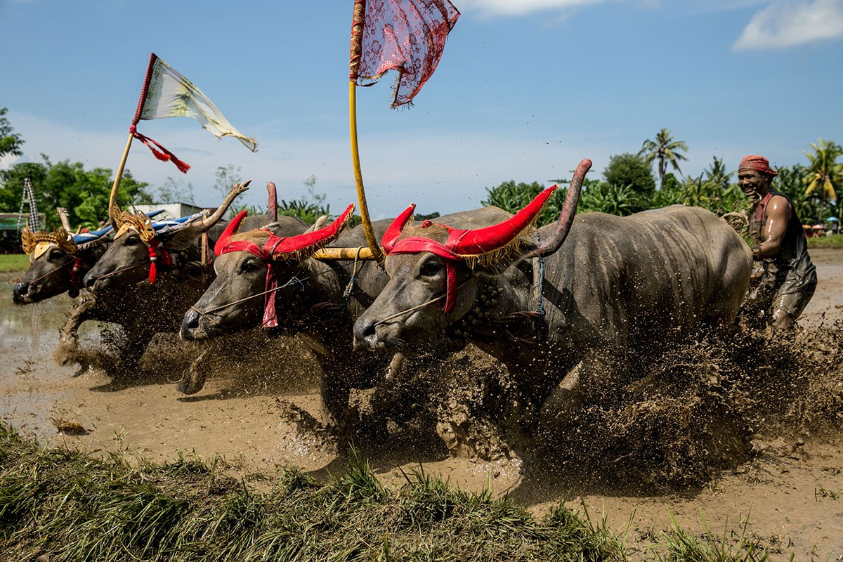 Participants reach the finishing line during the makepung lampit buffalo race in Kaliakah village in Jembrana. JP/ Agung Parameswara