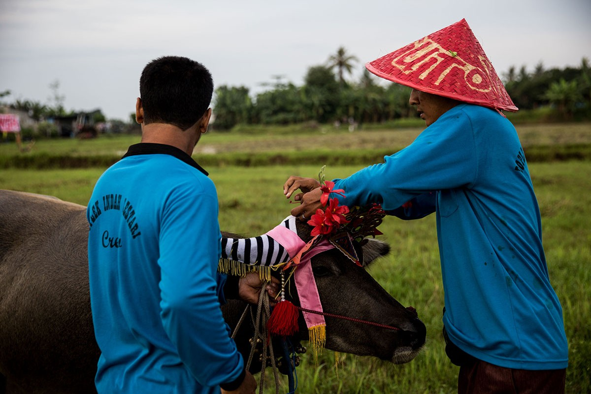 Participants dress up their buffalo as they prepare for the makepung lampit-water buffalo race in Jembrana. JP/ Agung Parameswara