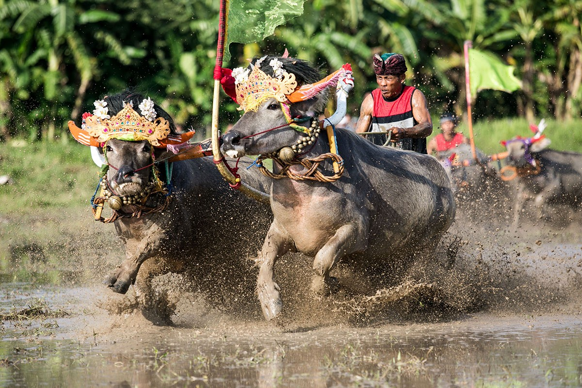 A jockey spurs buffaloes adorned with replicas of Balinese headdress during a race in Kaliakah village in Jembrana. JP/ Agung Parameswara
