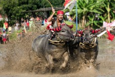 Two buffaloes wearing decorative socks on their horns race on a wet paddy field in Jembrana. JP/ Agung Parameswara
